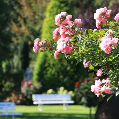 """Bildschön """"La Vie en Rose"""" - BAUMANNs Garten(T)RAUM"""